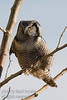 September - Northern Hawk Owl - This owl feeds mostly on voles and other small mammals and birds. The Northern Hawk Owl hunts from an exposed perch. It will swoop down to catch prey, fly low over the ground in search of food, or hover above prey before dropping down upon it.<br /> <br /> The Northern Hawk Owl has a body length of 14 – 17 inches, a wingspan of 2 1/2 - 3 feet, and weighs 10 1/2 - 12 ounces.