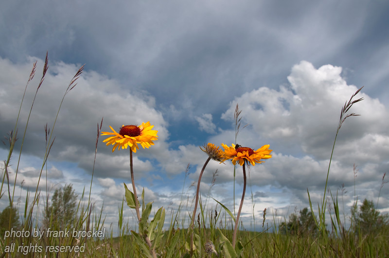 Brown-eyed Susans against the sky.