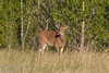 June - A young deer buck taking in a warm June evening - his antlers are still growing