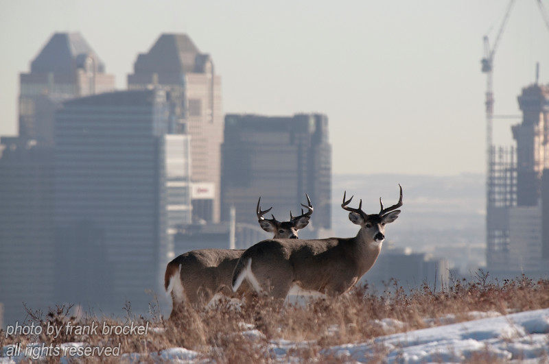 February - So here is a unique city scape - downtown Calgary in the background with 2 deer bucks enjoying a sunny winter afternoon on Nose Hill park.  This park is in the middle of the city and provides an oasis of nature and wildlife.    Please contact me directly (photography@canadaweb.net) to purchase this photo.
