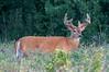 August - Deer Buck