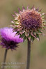 New perspective on a thistle