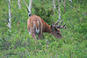 August - A Deer Buck grazing leisurely the velvet is still showing on the antlers