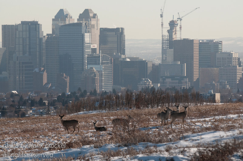 February - Downtown Calgary in the background with deer enjoying a sunny winter afternoon on Nose Hill park.  This park is in the middle of the city and provides an oasis of nature and wildlife.   Please contact me directly (photography@canadaweb.net) to purchase this photo.