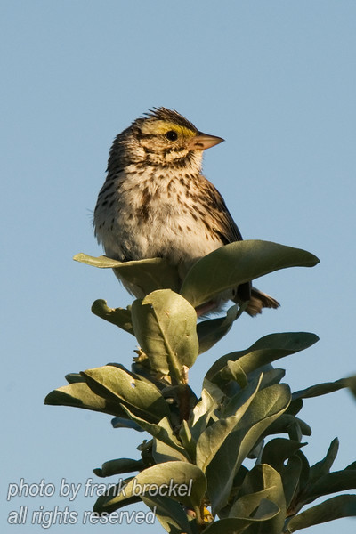 June - Baird's Sparrow