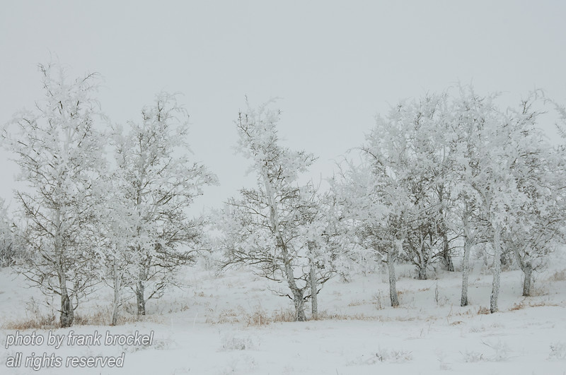 February - A group of trees thick with hoar frost
