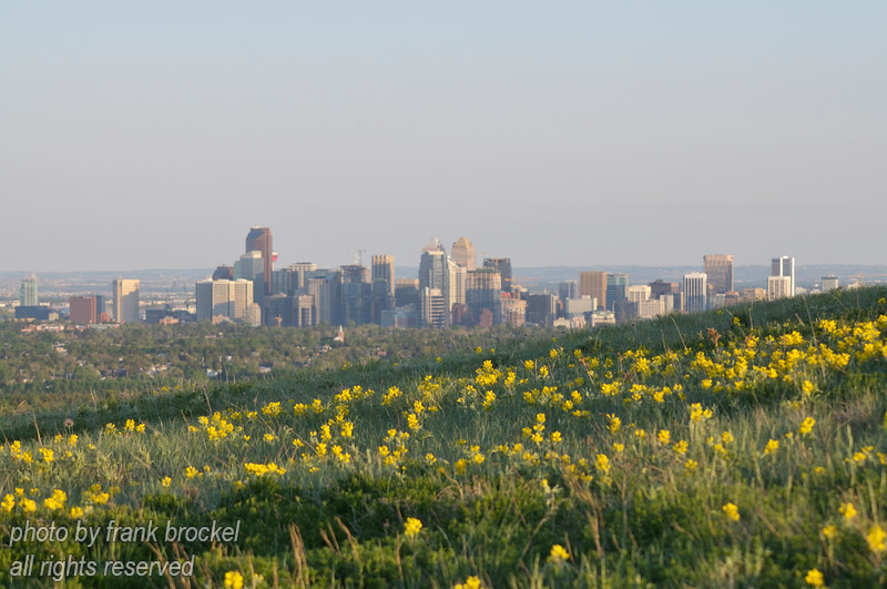 June - The Buffalo Beans are blooming on Nose Hill