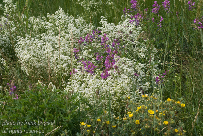 July - Bedstraw (white)  and Purple Vetch