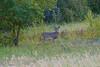 September - Deer buck amidst fall colors