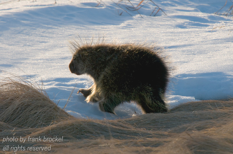 February - This porcupine is getting out of Dodge ... fast