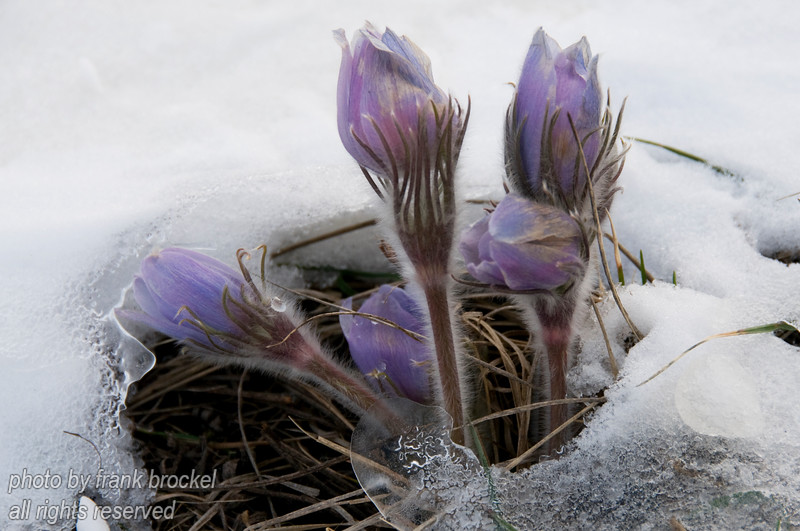 April - Crocuses breaking through the ice and snow after a spring storm left the hill white and frosty