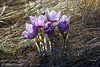 April - Crocuses on Nose Hill