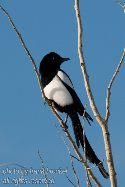 March - Magpies of Nosehill