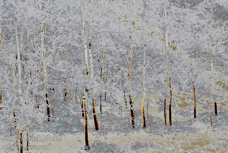 November - Poplars after the first Snow - Enhanced Colour