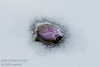 April - A Crocus trying to break through the ice and snow after a spring storm left the hill white and frosty