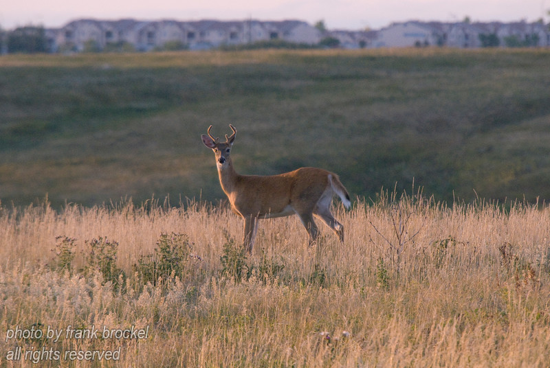 September - A buck posing with the Hawkwood neighborhood in the background