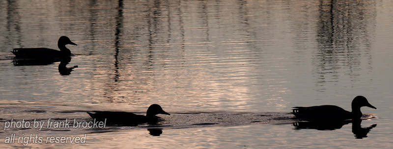 April - Silhouette of ducks on the pond