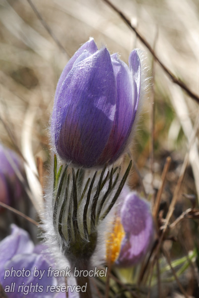 April - Crocuses on Nose Hill