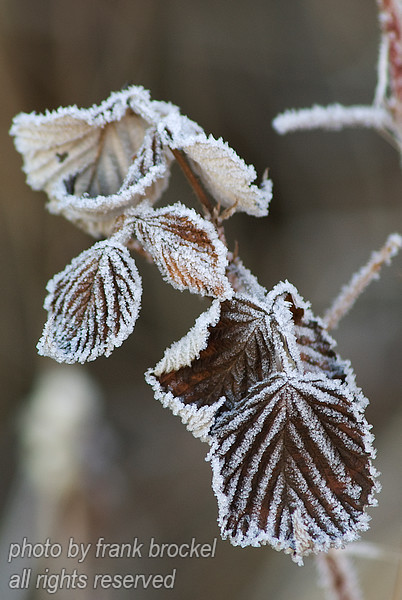 November - Ice covers the leaves of a rose bush