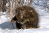 March - Nothing was going to disturb this porcupines' meal of willow branches