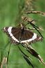 August - A butterfly, a bit worse for the wear & tear