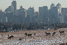 February - Downtown Calgary in the background with deer enjoying a sunny winter afternoon on Nose Hill park.  This park is in the middle of the city and provides an oasis of nature and wildlife - notice the coyote on the right side behind the deer.  Please contact me directly (photography@canadaweb.net) to purchase this photo.