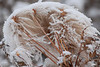 November - Clematis seeds encrusted with ice and snow