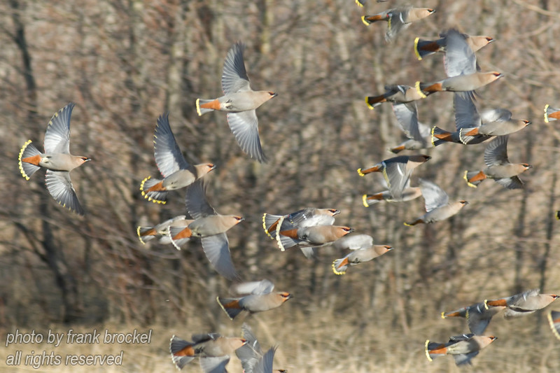 April - A flock of Bohemian Waxwings