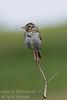July - A Baird's Sparow posing on a twig.