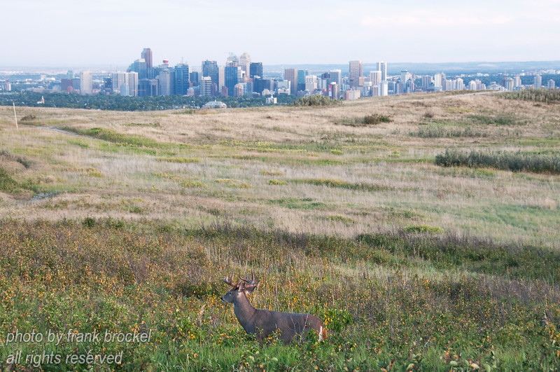 September - This deer was posing for me with downtown Calgary in the backgrond