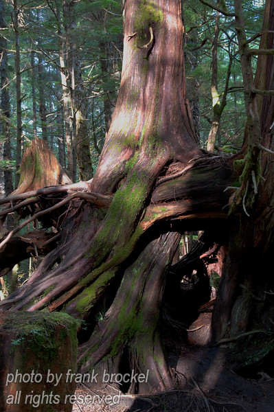 A massive cedar trunk with intertwined roots