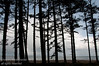 Tall trees, beach, forest floor and the ocean behind