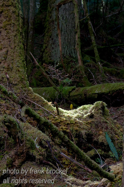 A bright spot in the rain forest - a shaft of sunlight illuminating a patch of moss, with a skunk cabbage in the back and a bright green fern leaf in the front.