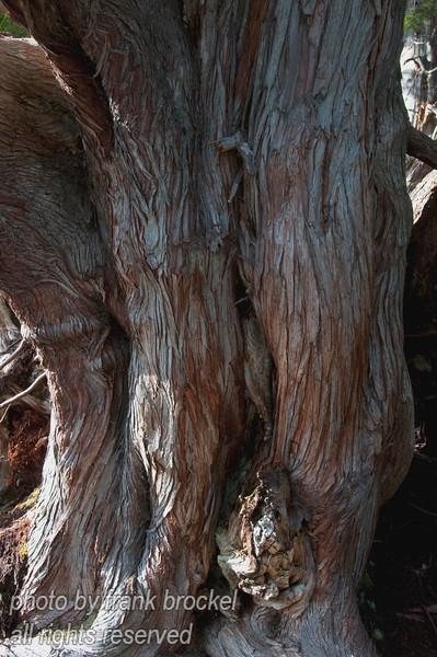 Close-up of the cedar trunk