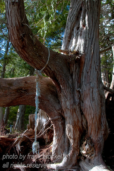 A cedar trunk with a swinging rope near the pacific shore