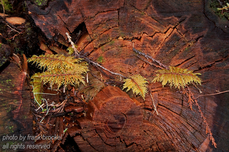 Ferns growing from the trunk of fallen tree trunk