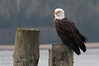 A bald eagle - photo taken at Old Masset