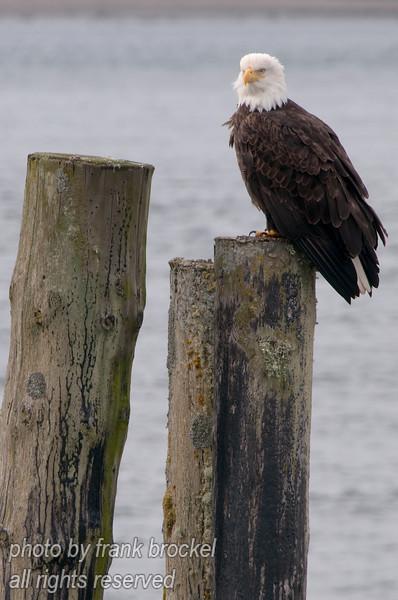A bald eagle - photo taken at Old Masset