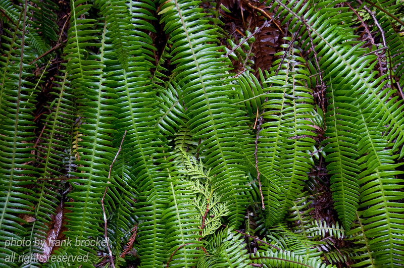 Ferns and moss grow everywhere in the rain forest along the west cost of Vancouver Island