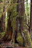 The rain forest along the west cost of Vancouver Island has incredible trees of a size hard to comprehend