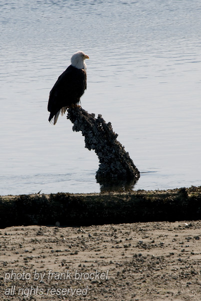 A bald eagle is resting on a tree stump looking for his next prey