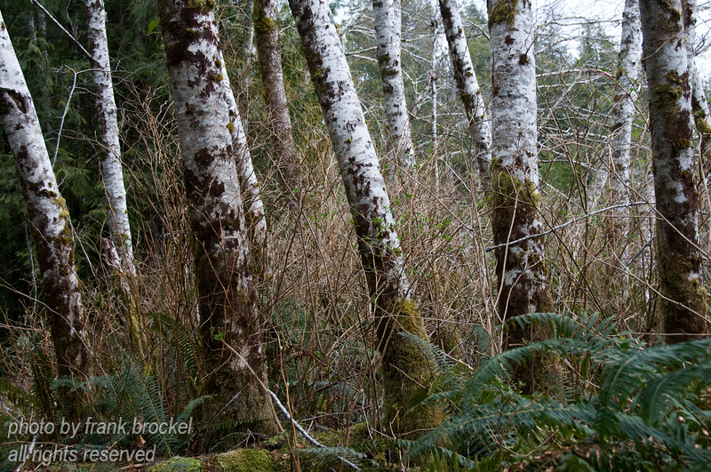 Birch Trees along the road to Grice Bay