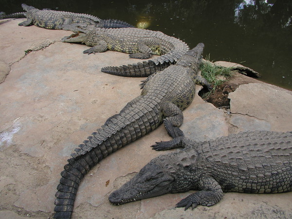 Crocodile Farm in Sun City