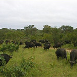 In the middle of a about 400 Buffaloes grasing relaxed. Some of them are on the dinner list of lions we saw for seconds hiding just minutes before in the grass.