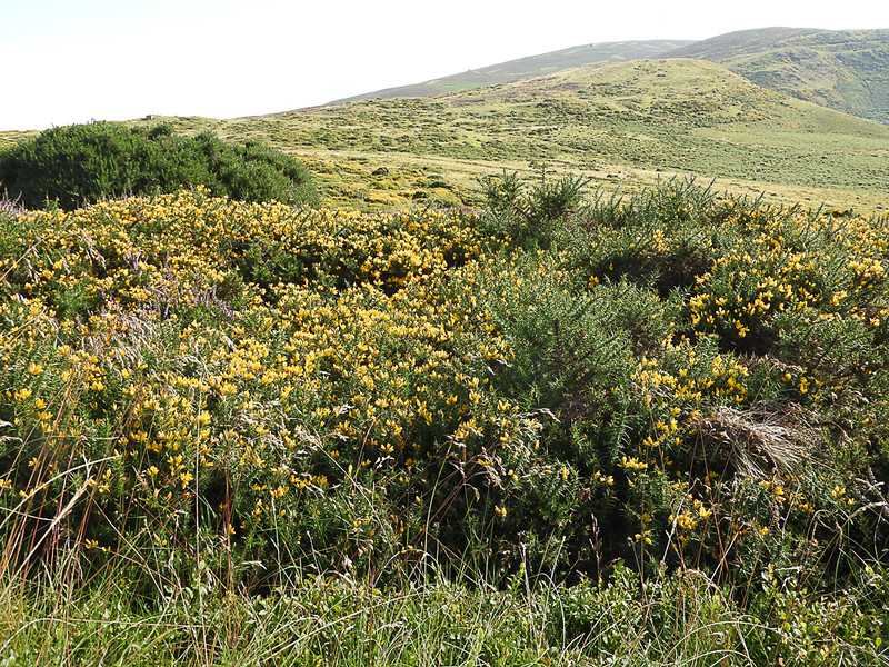 Gorse, a very prickly plant near Horseshoe Pass, Wales