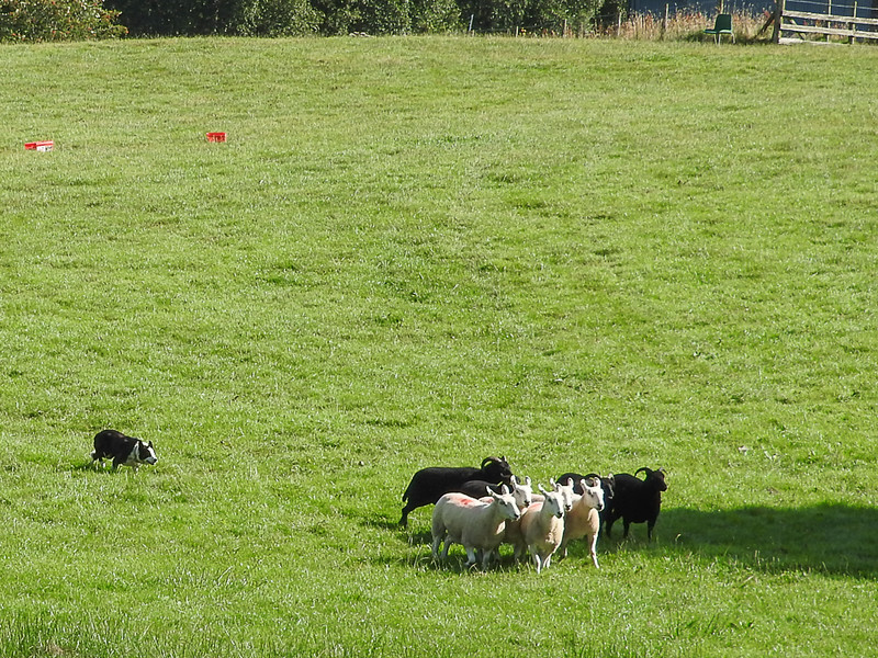 Sheepdog demo in Wales
