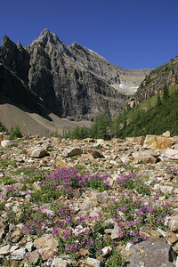 Blooms near the edge of Lake Agnes.