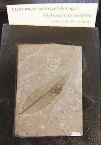 Fossil of an hydrangea leaf.