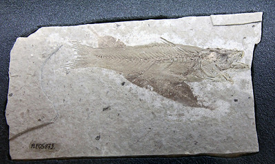 Another fish fossil.