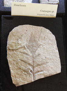 A fossil of Hawthorn.